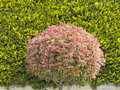 Spherical tree in a garden Stock Image