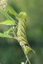 Sphingid larva the close up of big scientific name psilogramma menephron Stock Photo