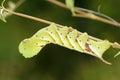 Sphingid larva the close up of big scientific name psilogramma menephron Stock Image