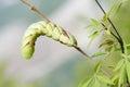 Sphingid larva the close up of a on branch scientific name psilogramma menephron Stock Photo