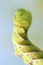 Sphingid larva the head close up of big scientific name psilogramma menephron Stock Image