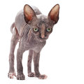Sphinx bald cat Royalty Free Stock Photo