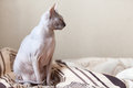 Sphinx cat on the bed calm sitting a in bedroom copyspace Royalty Free Stock Photos