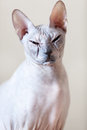 Sphinx cat looking at the camera sphynx portrait Stock Image