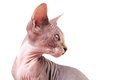 Sphinx cat picture of kitten Stock Image