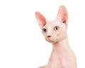 Sphinx cat portrait Royalty Free Stock Photo