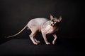 Sphynx cat. Bald cat. Egyptian Cat Royalty Free Stock Photo