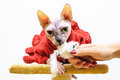 Sphynx cat big eyes handmade dress Royalty Free Stock Photo