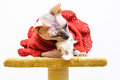 Sphynx cat eating toy funny handmade dress pet shop stand Royalty Free Stock Photo