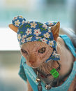 Sphynx cat in  funny hat Royalty Free Stock Photo