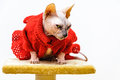Sphynx cat funny look dress pet shop stand Royalty Free Stock Photo