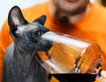 Sphynx cat with glass of red wine Royalty Free Stock Photo