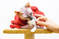 Sphynx cat handmade dress pet shop stand Royalty Free Stock Photo