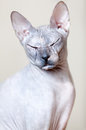 Sphynx cat portrait looking camera closed eyes Stock Photos