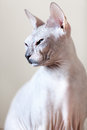 Sphynx hairless cat portrait on grey background Stock Photo