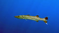 Sphyraena barracuda Royalty Free Stock Photo