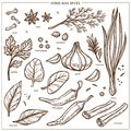 Spices and seasonings herbs sketch icons. Vector isolated