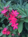 Spicy Jatropha Flowers