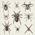 Spider or arachnid species, most dangerous insects in the world, old vintage for halloween or phobia design. hand drawn Royalty Free Stock Photo