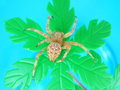 Spider (Araneus diadematus) Royalty Free Stock Image