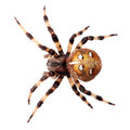 Spider Araneus diadematus Stock Photo