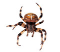 Spider Araneus diadematus Stock Photography