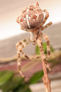Spider araneus diadematus front view close up of common european on plant branch Stock Image