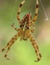 Spider of areneus diadematus species seen from the top with its semi cross visible Royalty Free Stock Photo