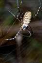 Spider argiope bruennichi a of considerable size and threatening aspect Royalty Free Stock Images