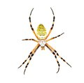 Spider argiope bruennichi isolated on white background Royalty Free Stock Photo