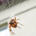 Spider arthropods spiders webs cross brown hunting poison insect Royalty Free Stock Photo