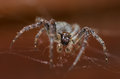 Spider brown and its web Royalty Free Stock Photo