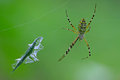 Spider catching the locust Royalty Free Stock Photo