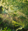 Spider in center of web Royalty Free Stock Image