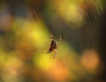 A spider on the cobweb small is glossy Stock Image