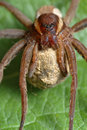 Spider with a cocoon. Stock Image