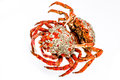 Spider Crab Royalty Free Stock Images
