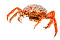 Spider Crab Stock Image