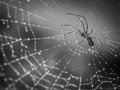 Spider crawling on a web with droplets of dew black and white finish Royalty Free Stock Image