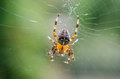 Spider cross sitting on the web Royalty Free Stock Photography