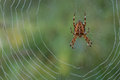 Spider on dewy web Royalty Free Stock Photo