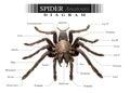 Spider diagram Royalty Free Stock Photo