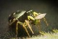 Spider eats his prey Royalty Free Stock Photo