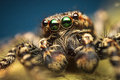 Spider extreme macro closeup high magnification photo of marpissa muscosa male jumping from salticidae family of spiders with Royalty Free Stock Photos