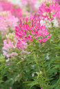 Spider flower in bloom beautiful cleome hassleriana Stock Photos
