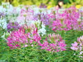 Spider flower cleome spinosa in the garden Stock Photos