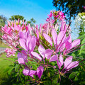 Spider flower or prickly or pink queen or cleome spinosa jacq Stock Images