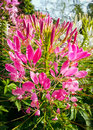 Spider flower or prickly or pink queen or cleome spinosa jacq Royalty Free Stock Photo