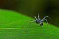 Spider front view of the little walking on the grass leaf Stock Photography