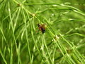 Spider on green horsetail grass Royalty Free Stock Image